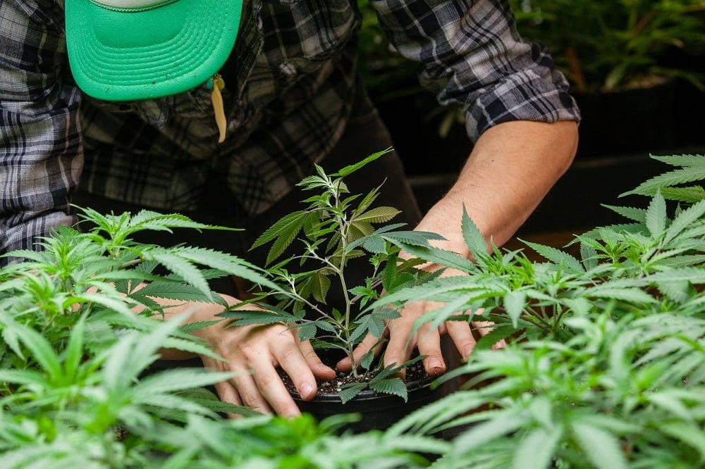 environmental factors affecting cannabis