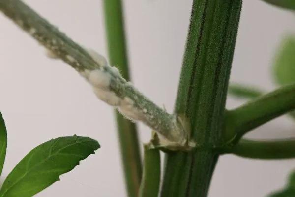 fusarium wilt infection in cannabis stem