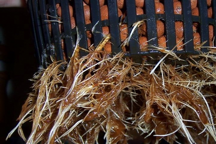 cannabis root rot in a hydroponic system
