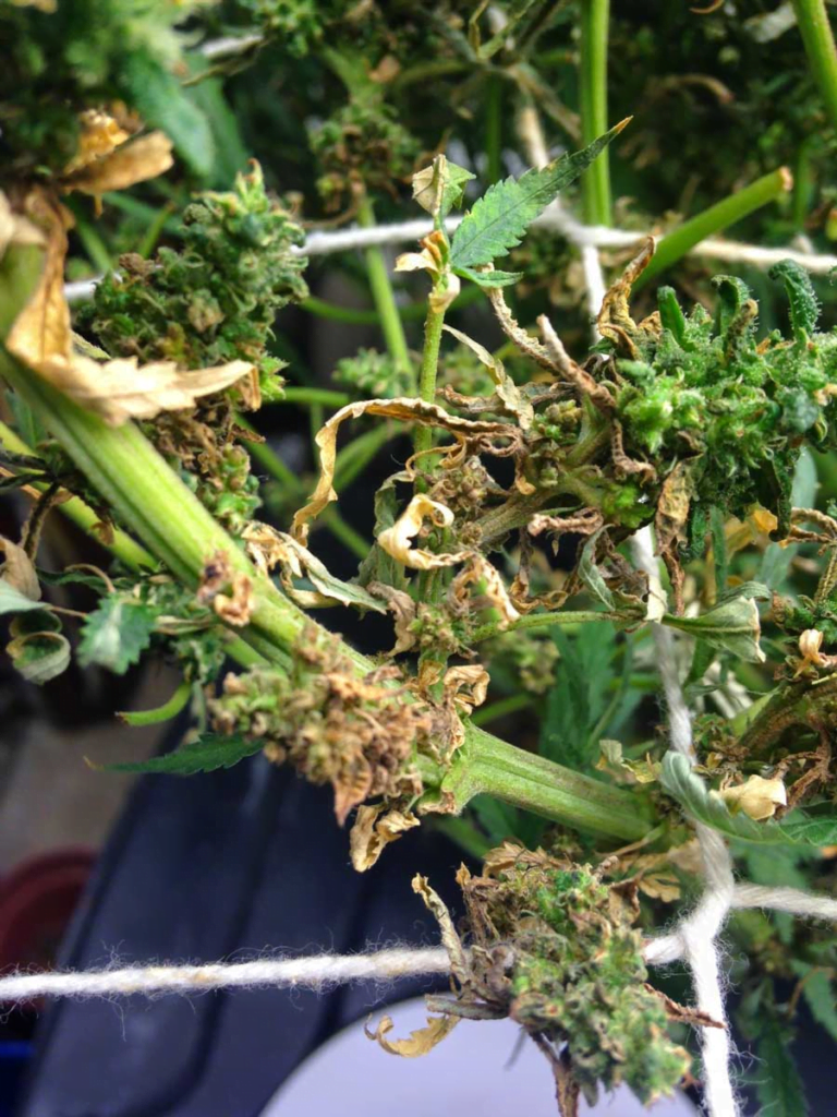 bud termination and dry down due to root rot in cannabis