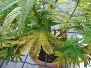 manganese deficiency in cannabis flowering stage