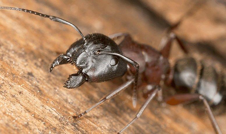 ORGANIC CARPENTER ANT PEST CONTROL