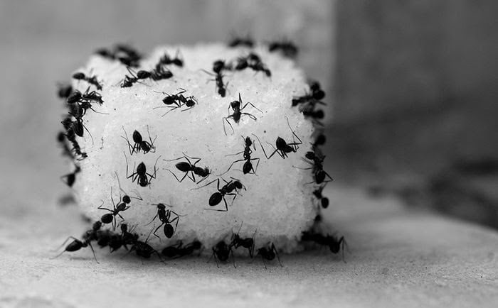 Blog_5 Ways to Get Rid of Sugar Ants_1