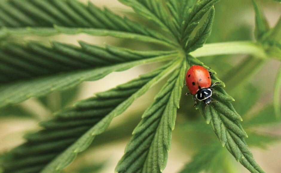 Organic IPM: Predatory Insects for Controlling Common Cannabis Pests