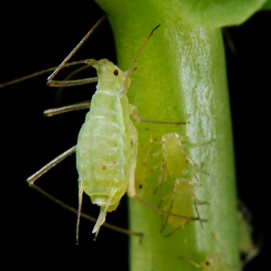 The Life Cycle of Cannabis Aphids