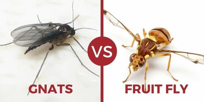 emale fungus gnats can lay up to 200 eggs each week