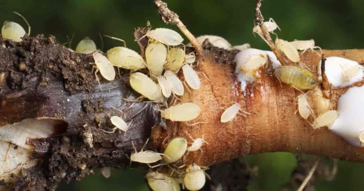 root aphids infestation in cannabis