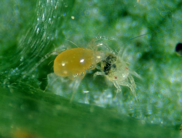 Neoseiulus fallacis predatory mite for two-spotted spider mites cyclamen mites broad mites