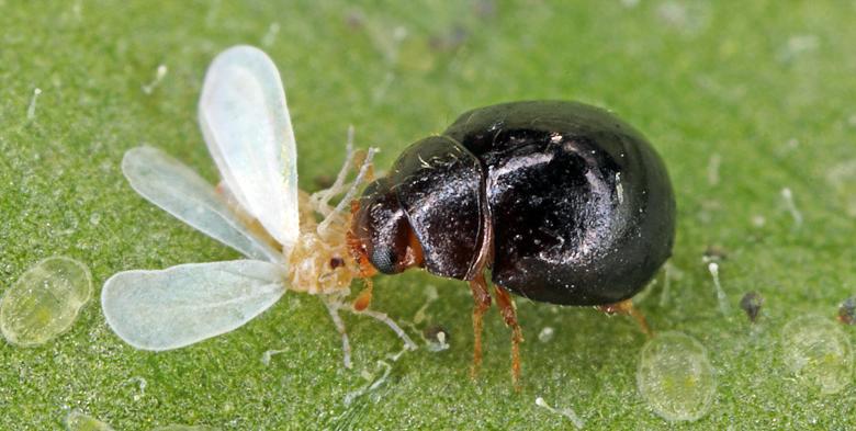 Delphastus catalinae whitefly lady beetle predatory bug