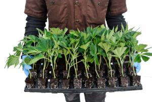 sanitizing cannabis clones in organic pest control