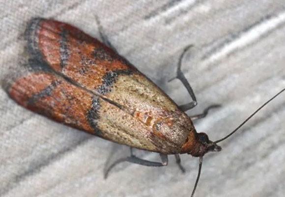 Moth-Pest-Control