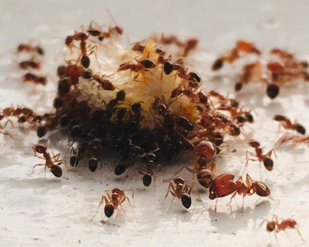 PHARAOH ANT-removal-pest