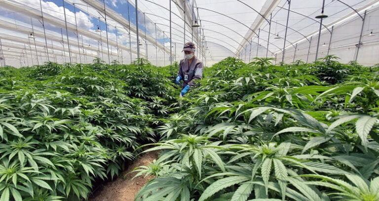 sanitation process in cannabis grow space