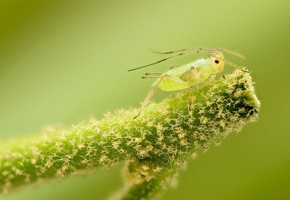 cannabis aphids