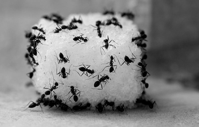 How to Get Rid of Sugar Ants during the Ant Season