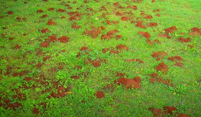 oregon ant nests in lawn