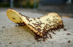 food that attracts ants