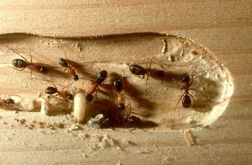 carpenter ants creating wood tunnels
