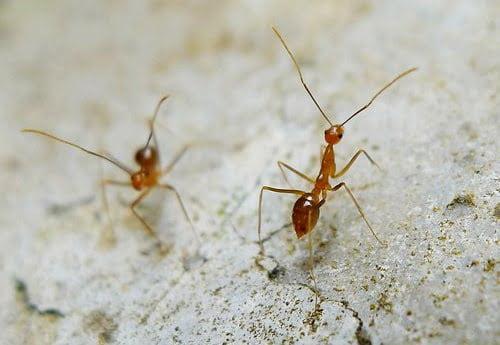 Oregon ants crazy ants