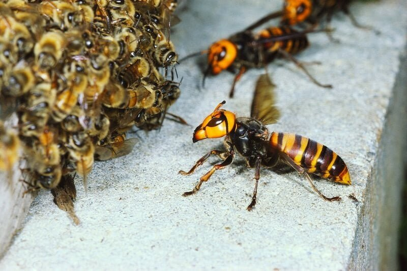 Murder Hornets and the Danger They Pose to Honey Bees in Oregon