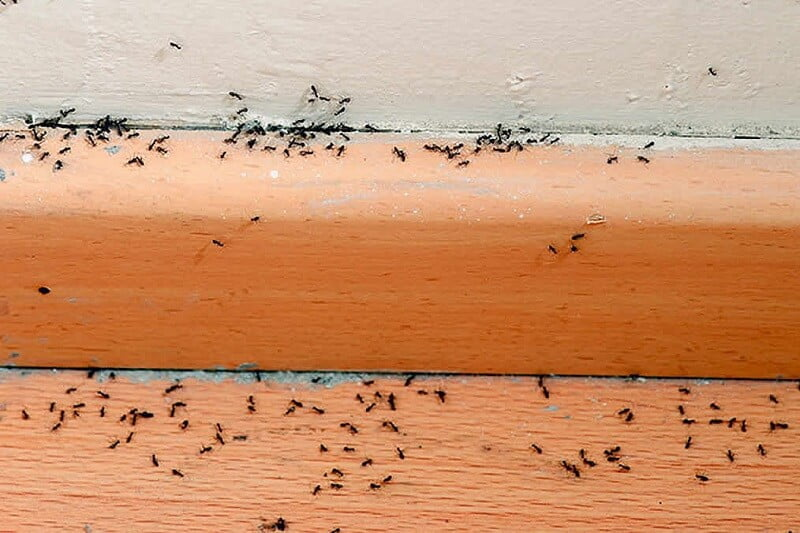 How to Get Rid of Ants in Less Than a Day