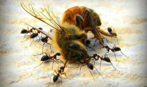 ants eating other insects