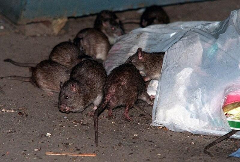 rodent control beaverton