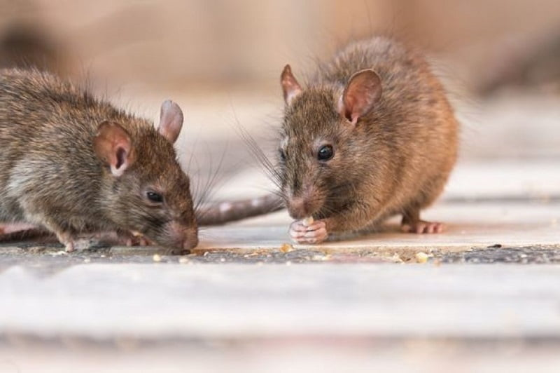 rodent pest control beaverton