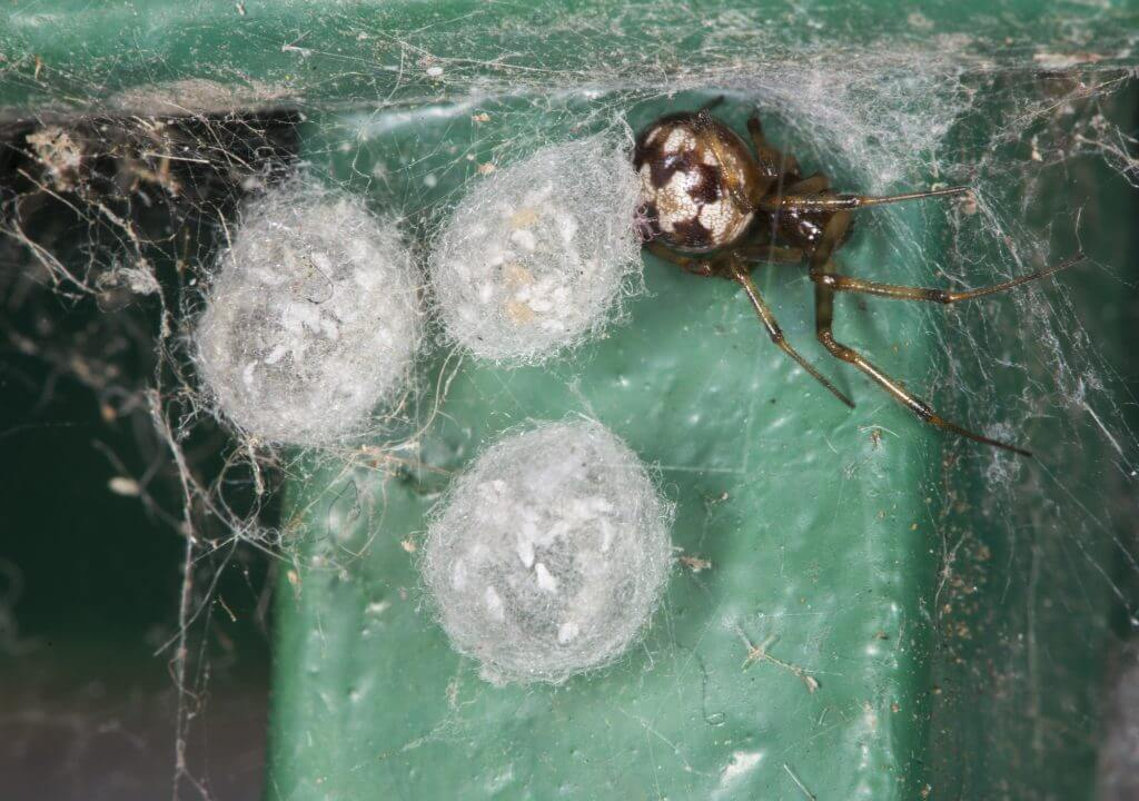 Why Do I Have So Many Spiders in My House?