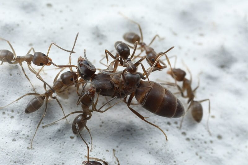 Everything You Need to Know About Argentine Ants