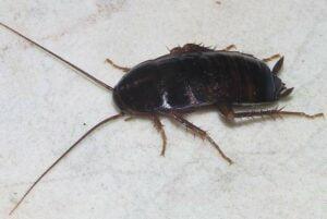 Oriental cockroach Oregon