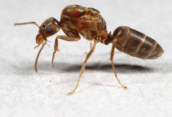 queen argentine ant