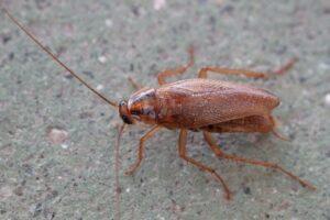German cockroach Oregon