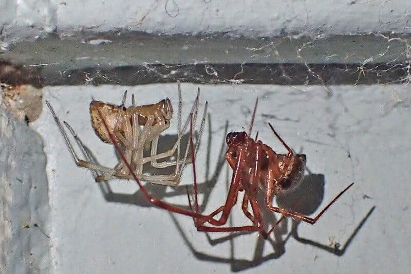 house spiders Oregon