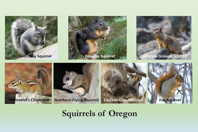 squirrels of oregon