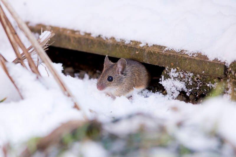 winter pests