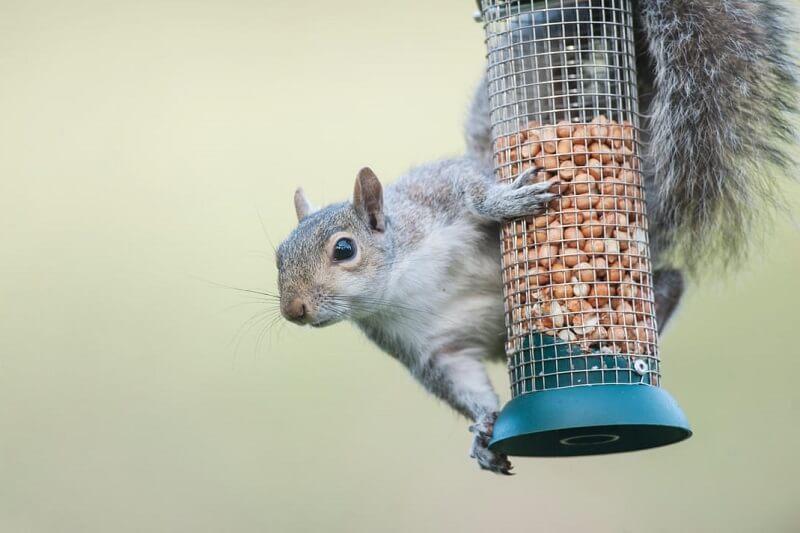 get rid of squirrels in bird feeder
